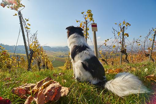 Cute dog in the Vineyard