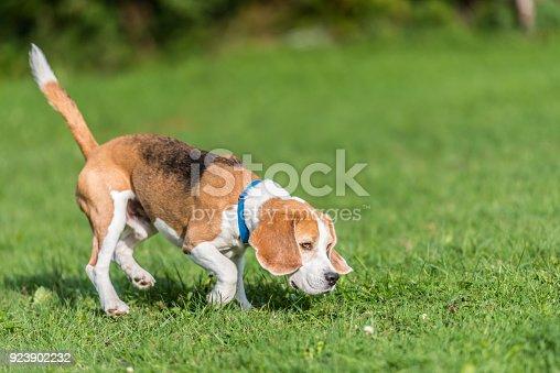 istock Cute dog is following a trail - Beagle Hound 923902232