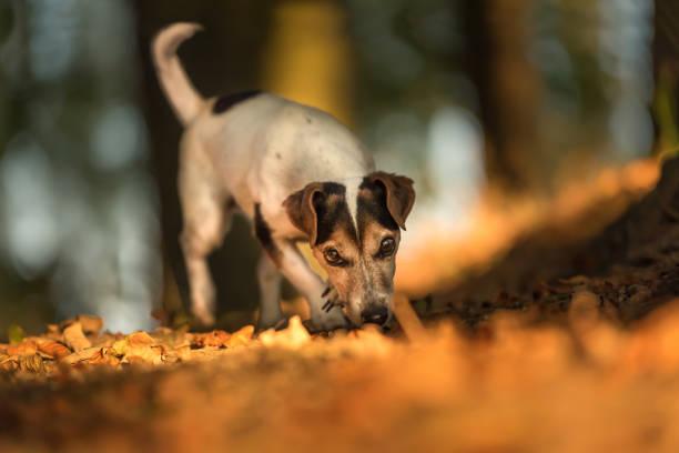 Niedlichen Hund verfolgt eine Spur - Jack Russell Terrier Hund- – Foto