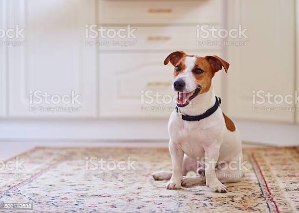 Cute dog jack russel terrier sitting in the kitchen floor picture id500110538?b=1&k=6&m=500110538&s=612x612&h=idf d50mbgyen0oca9qnvlriyjazoipmqnn0qln7s m=