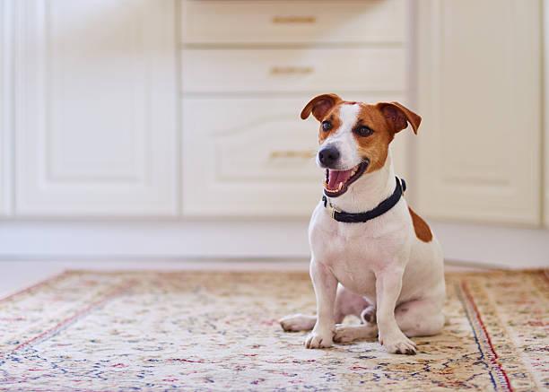 niedlichen hund jack russel terrier sitzend in der küche-etage - halsband stock-fotos und bilder