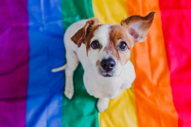 Cute dog jack russell sitting on rainbow LGBT flag in bedroom. Pride month celebrate and World peace concept stock photo