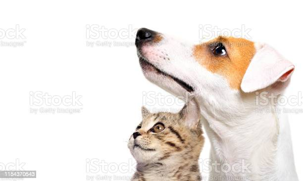 Cute dog jack russell terrier and kitten scottish straight side view picture id1154370543?b=1&k=6&m=1154370543&s=612x612&h=6nfo iu5t zgiannxy64gzwkan9gnlt 5yi2pq30os8=