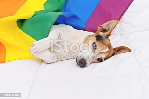 885056264istockphoto Cute dog jack russell wrapped in rainbow LGBT flag lying on white bed 1150340866