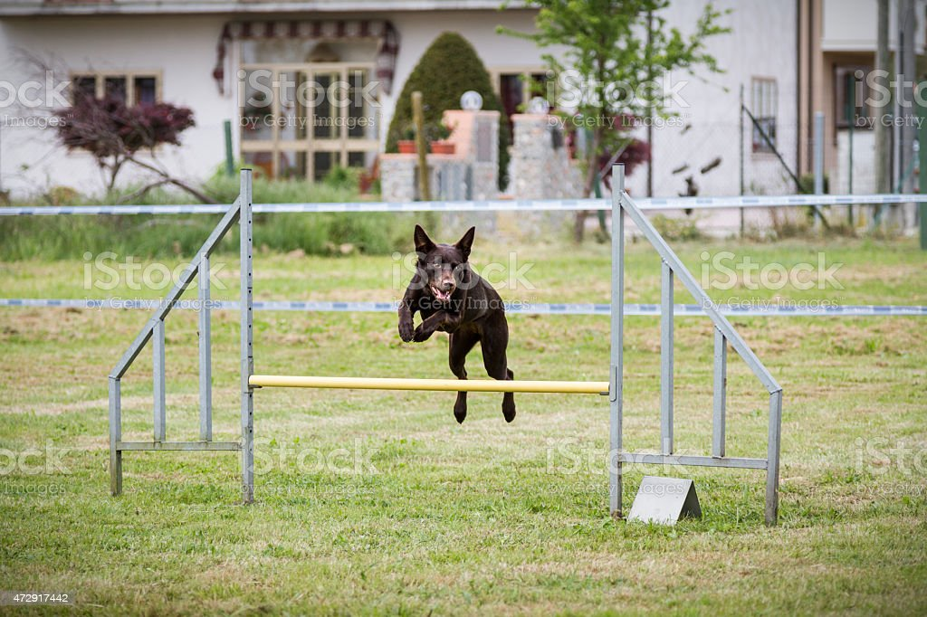 Cute dog jumps during an agility dog competition stock photo