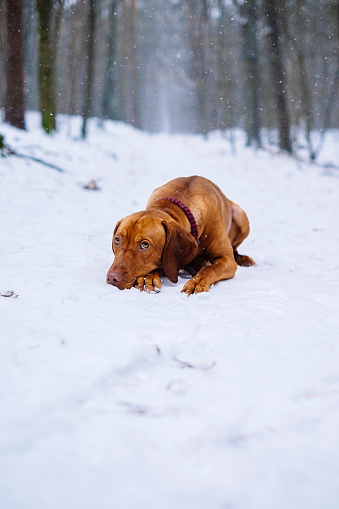 Vizsla dog in the forest while it is snowing