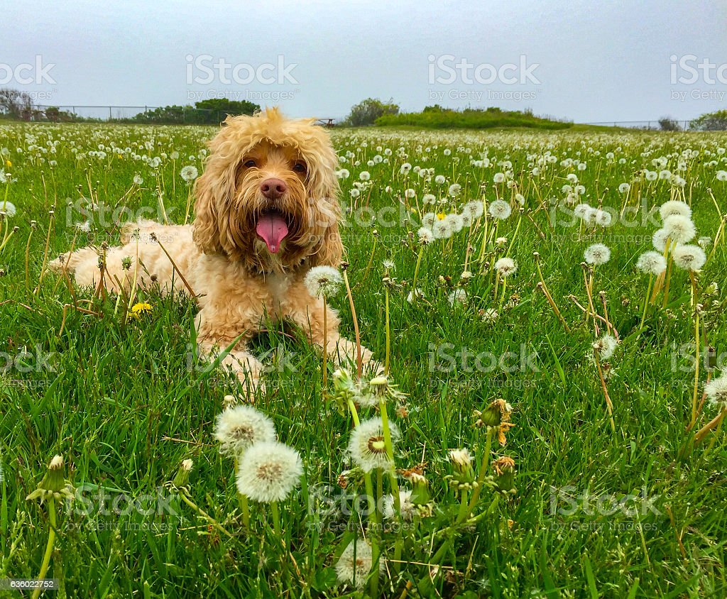 Cute Dog Lays in Green Grass and Dandelions stock photo