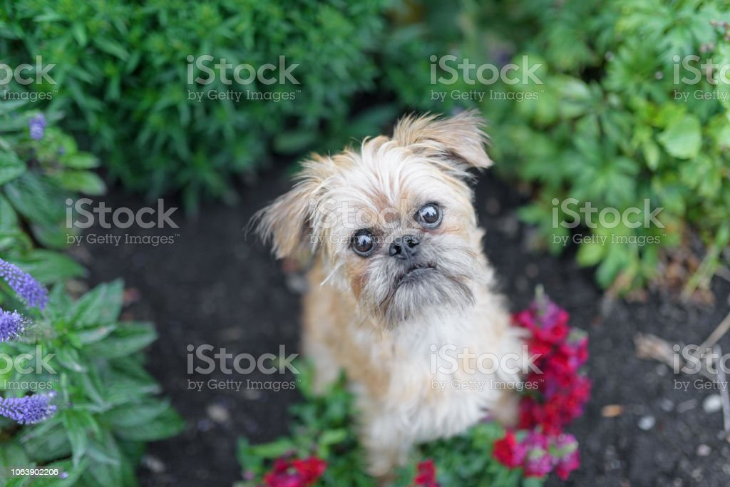 Cute dog looking at camera in a flower garden stock photo