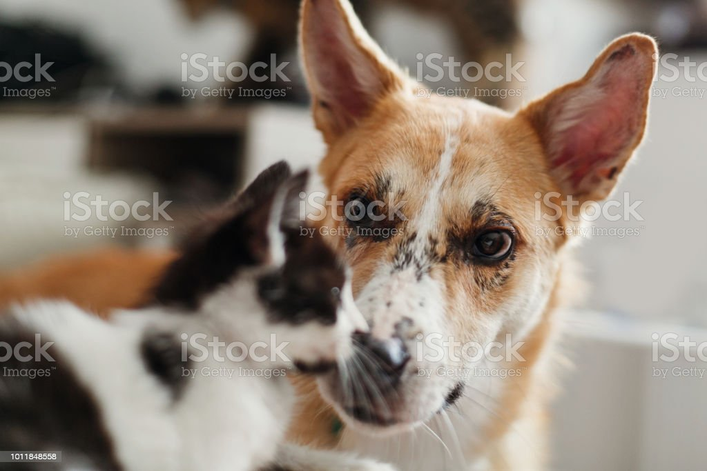 cute dog looking at little kitty in stylish room. woman holding...