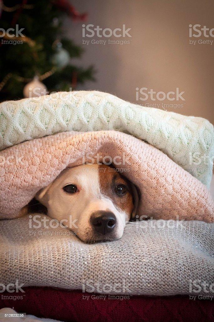 cute dog lying between sweaters stock photo