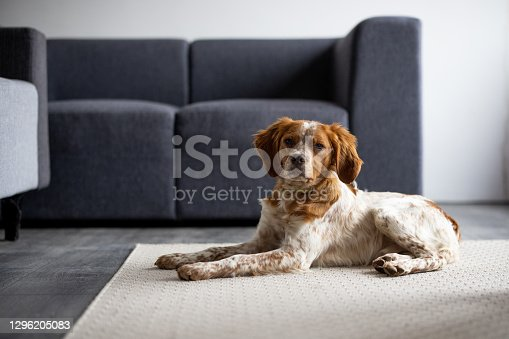 Cute brittany spaniel dog lying on carpet in living room and looking at camera