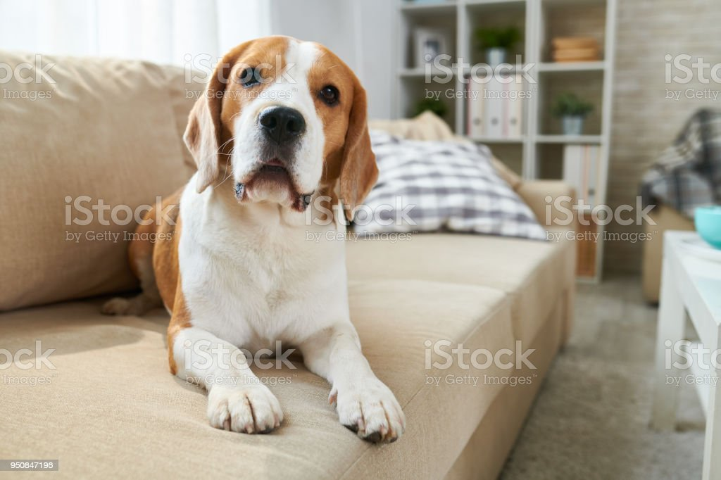 Cute dog lying on sofa Calm clever old Beagle dog lying on comfortable sofa and looking at camera in living room Animal Stock Photo
