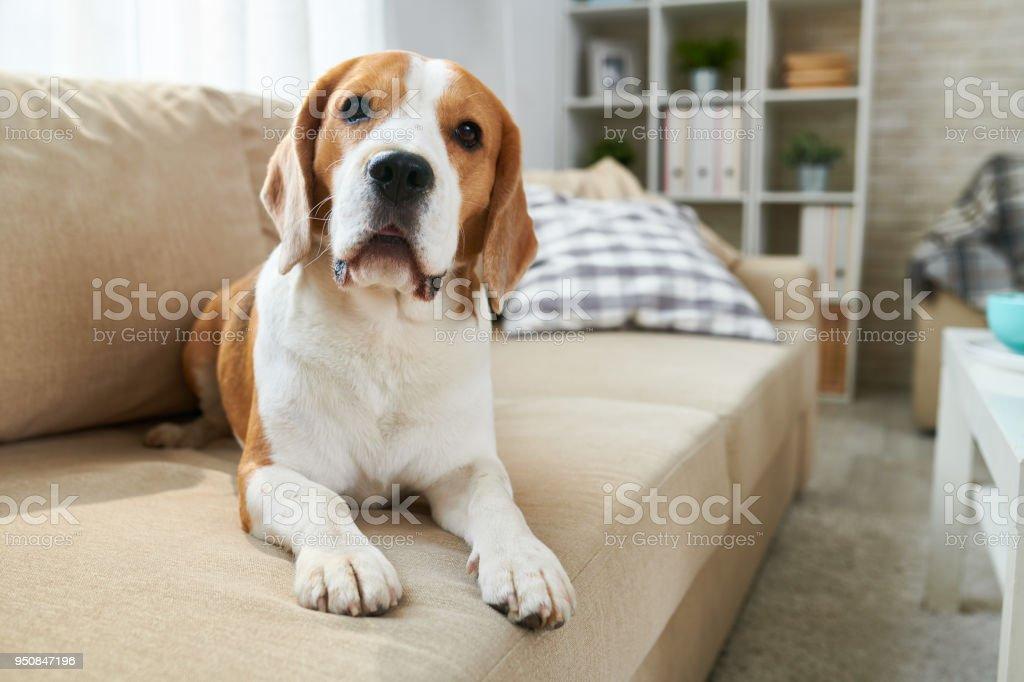 Niedlich Hund liegend Sofa – Foto