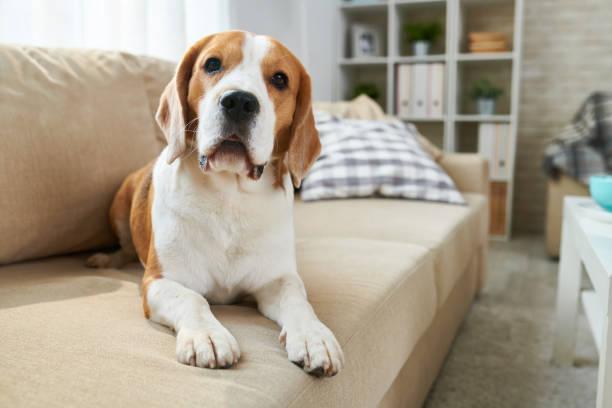 cão bonito deitada em um sofá - cachorro desenho - fotografias e filmes do acervo