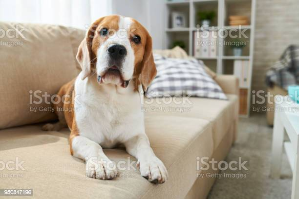 Cute Dog Lying On Sofa Stock Photo - Download Image Now
