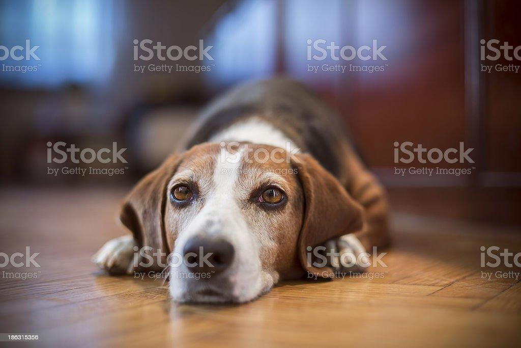 Cute dog lying stock photo