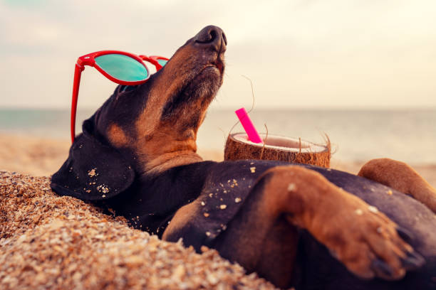 cute dog of dachshund, black and tan, buried in the sand at the beach sea on summer vacation holidays, wearing red sunglasses with coconut cocktail - vacations food stock pictures, royalty-free photos & images