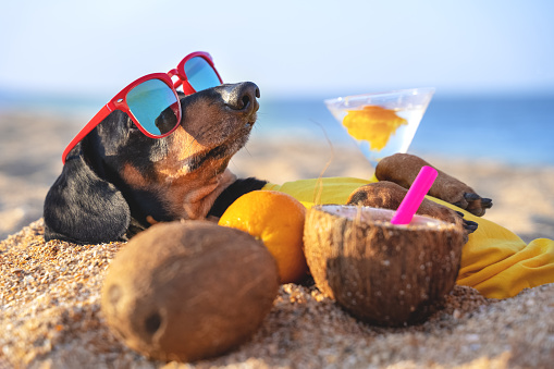 Cute Dog Of Dachshund Black And Tan Buried In The Sand At The Beach Sea On Summer Vacation Holidays Wearing Red Sunglasses With Coconut Cocktail — стоковые фотографии и другие картинки Лето - iStock