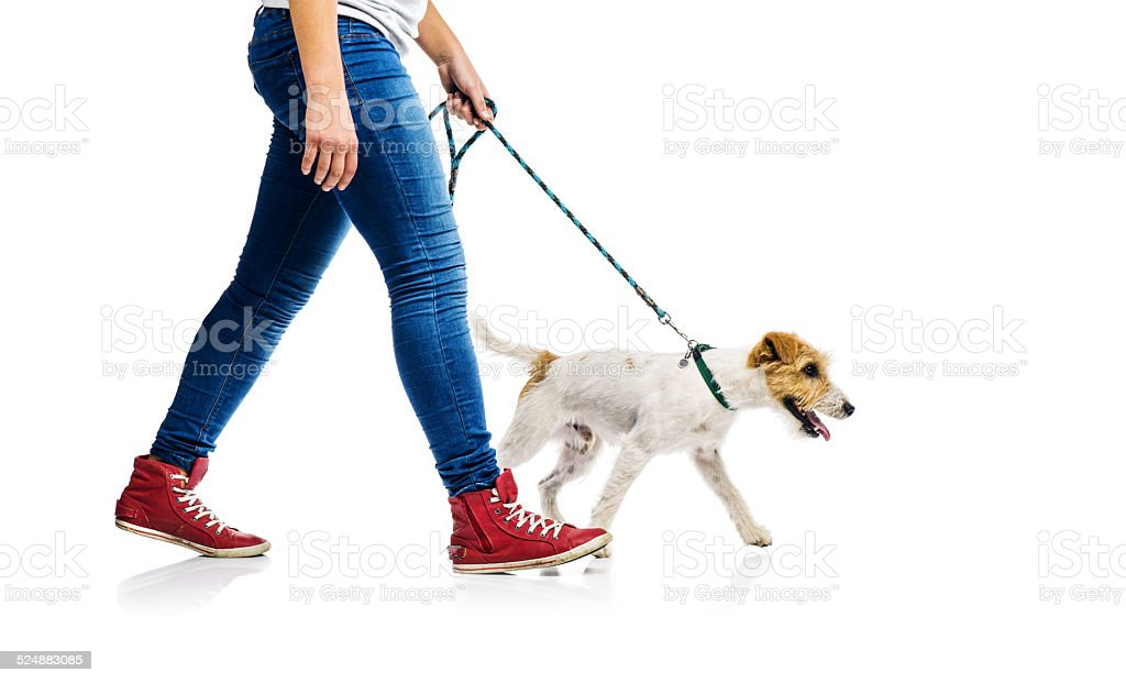 Cute dog on lead on walk with his owner stock photo