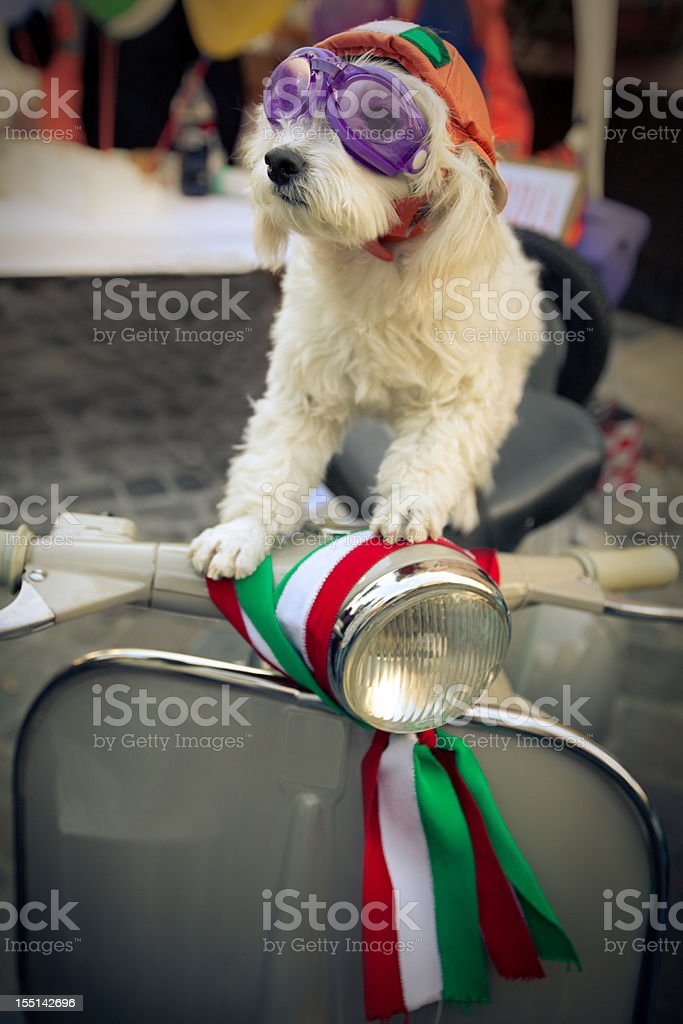 Cute dog on vintage scooter royalty-free stock photo
