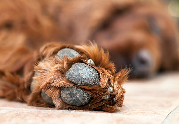 Cute dog paw Pow of a beautiful lazy Irish Setter irish setter stock pictures, royalty-free photos & images