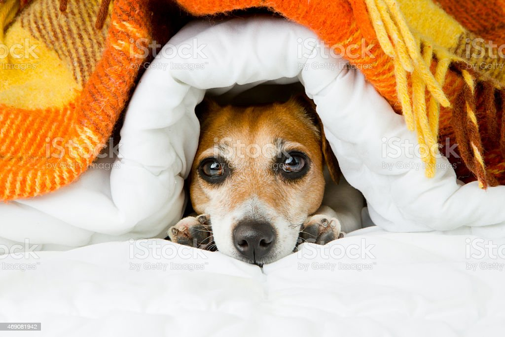 Cute dog peeking out from under the soft warm blanket. stock photo