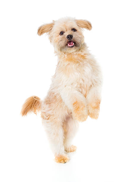 cute dog - dog jumping stock photos and pictures
