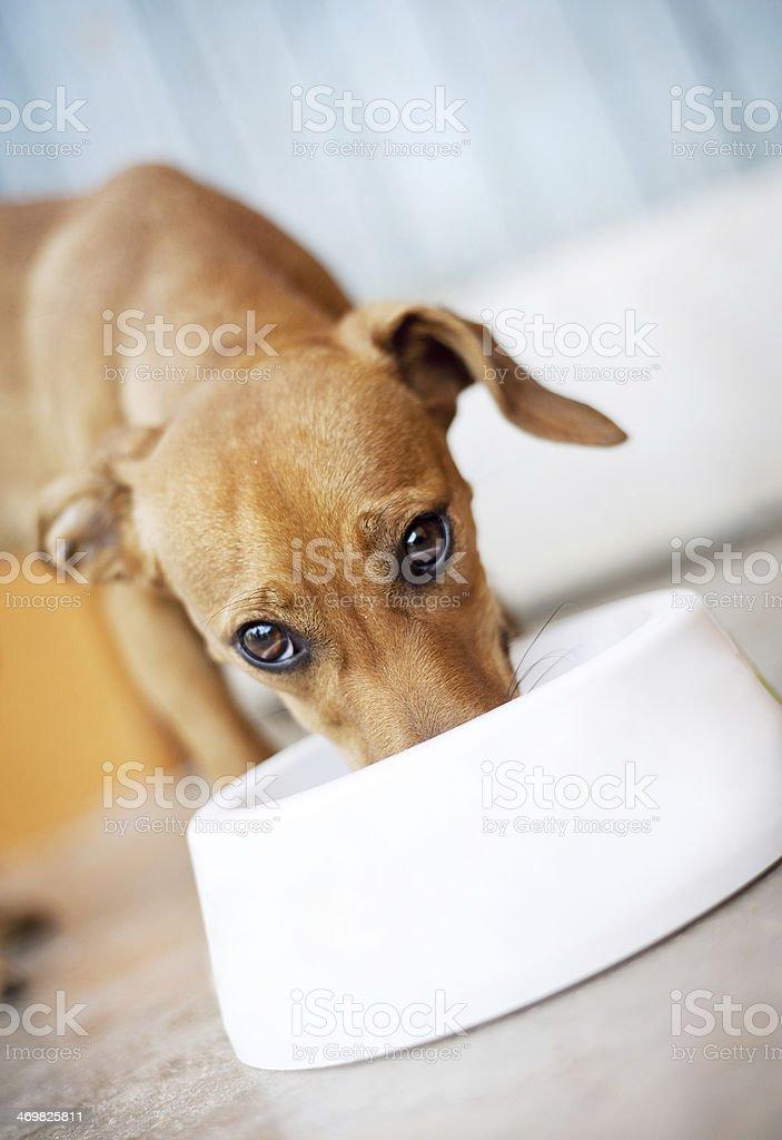 Cute dog Cute dog is eating food. Animal Stock Photo