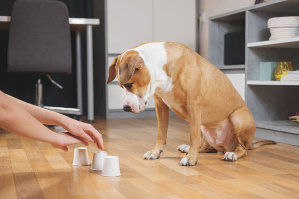Cute dog playing the shell game with her human. Concept of training pets, domestic dogs being smart and educated shell game stock pictures, royalty-free photos & images