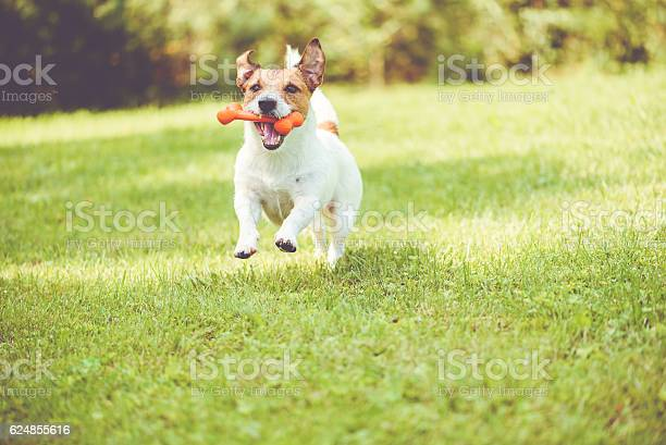 Cute dog playing with toy bone at sunny summer day picture id624855616?b=1&k=6&m=624855616&s=612x612&h=dw1ovnsgbzngymwiillrvlwrdgtoxqf6isgghiqc9do=