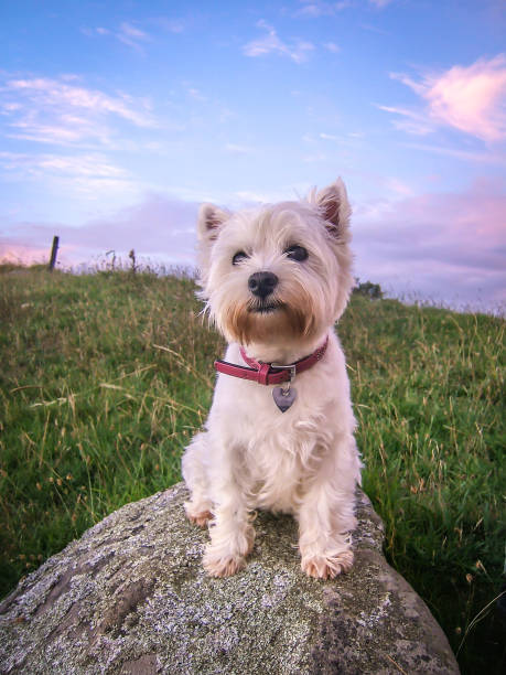 Cute dog portrait of west highland white westie terrier at sunset with pastel colors in sky stock photo