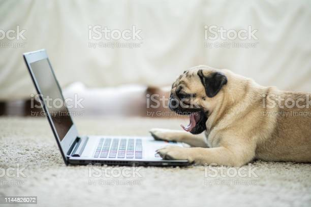 Cute dog pug breed lying and yawning on ground looking on computer picture id1144826072?b=1&k=6&m=1144826072&s=612x612&h=kbq d49 t60fb4jvwcbmpfkpvdb2loufkzr6odg5q1w=