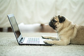Cute dog Pug breed lying on ground looking on computer laptop screen working and typing with computer laptop feeling happiness and comfortable,Dog and Business Concept