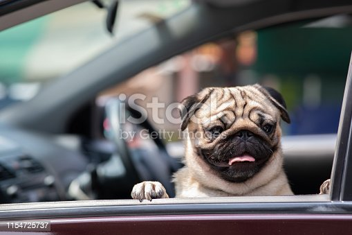 Cute Dog Pug on car smile and happiness ready to vacations in summer holidays with owner feeling so cheerful,Happiness Dog Concept