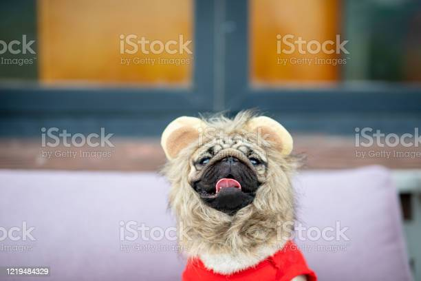 Cute dog pug wearing lion costume and lying smile with happiness and picture id1219484329?b=1&k=6&m=1219484329&s=612x612&h=nbd2n5by1kbuzmx0g7vgtv4yf yzxr4ny5pds5ecmrw=
