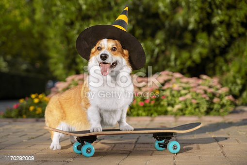 cute dog puppy redhead  pembroke welsh corgi, dressed in a festive halloween black and yellow witch hat, standing  a skateboard on the street for a summer walk in the park, smiling, sticking out his tongue