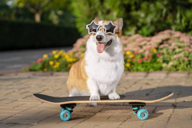 cute dog puppy redhead  pembroke welsh corgi, dressed in star-shaped sunglasses, standing  a skateboard on the street for a summer walk in the park, smiling, sticking out his tongue cute dog puppy redhead  pembroke welsh corgi, dressed in star-shaped sunglasses, standing  a skateboard on the street for a summer walk in the park, smiling, sticking out his tongue animal tricks stock pictures, royalty-free photos & images