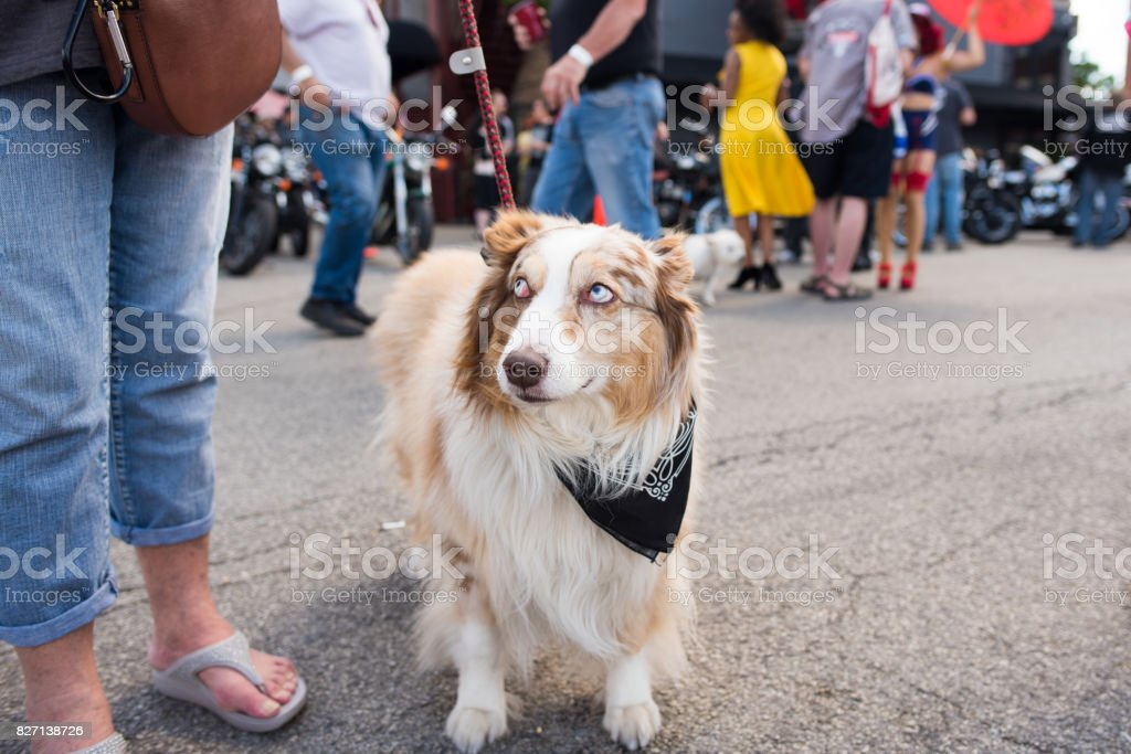 Cute dog questioning her owner at a street fest. stock photo