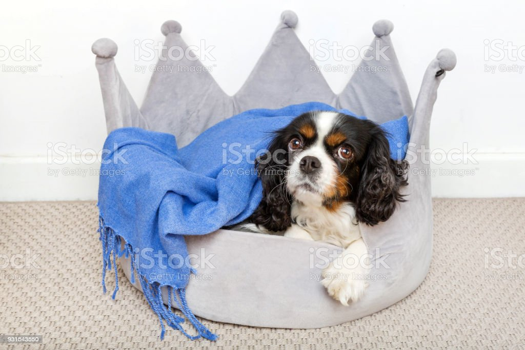Good Cavalier Canine Adorable Dog - cute-dog-relaxing-picture-id931543550  Snapshot_94650  .com/photos/cute-dog-relaxing-picture-id931543550