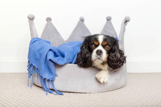 niedlichen hund entspannende - königin kopfteil stock-fotos und bilder