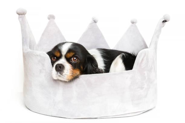 niedlichen hund ruhen - königin kopfteil stock-fotos und bilder