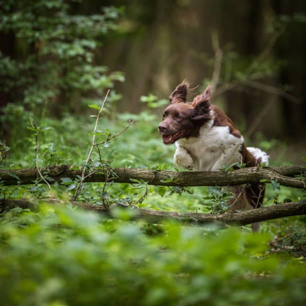 Cute dog running outdoors in a forest picture id1130442105?b=1&k=6&m=1130442105&s=612x612&w=0&h=bwhk1kku8ihqoycbph7qoqtp2gaihkkby ewwa0bp8a=