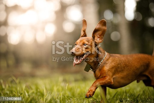 Cute dog running outside.