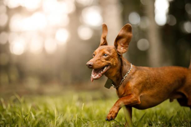 Cute dog running outside picture id1124609693?b=1&k=6&m=1124609693&s=612x612&w=0&h=kjrecuwptidxg7mqbmdh2mdywqvff5miibhwitsy uu=