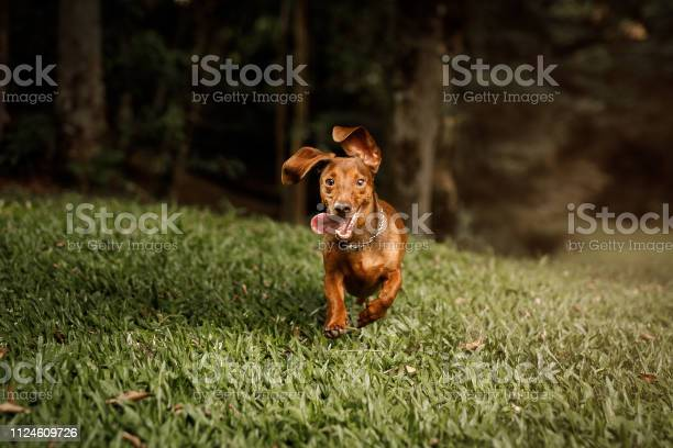Cute dog running outside picture id1124609726?b=1&k=6&m=1124609726&s=612x612&h=occtn4v 5icxv8tg1phzsjt4729h r4t1hymnplwxwg=