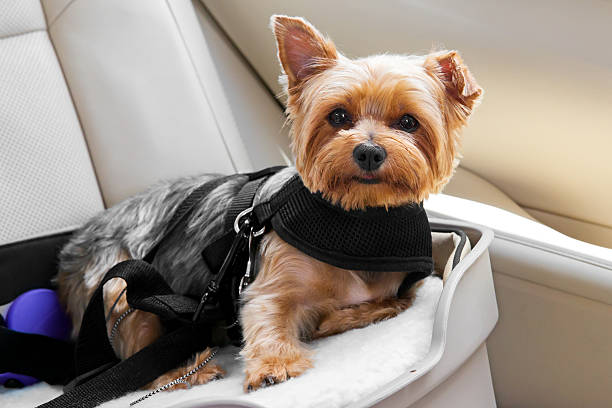 Cute dog secured in car seat Cute little dog is secured in car seat.  rr safety harness stock pictures, royalty-free photos & images