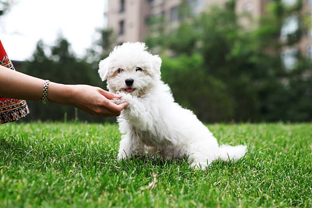 Cute Dog Shaking Hand - XLarge Cute Dog Shaking Hand animal tricks stock pictures, royalty-free photos & images