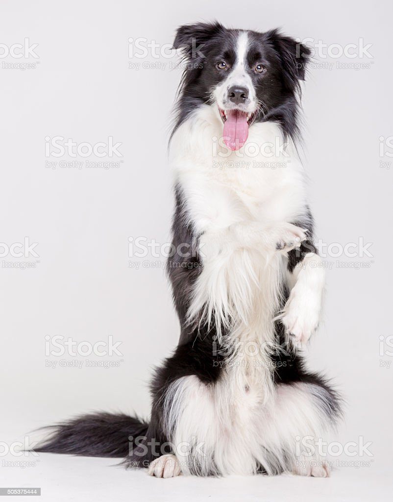 Cute Dog Shepherd stock photo