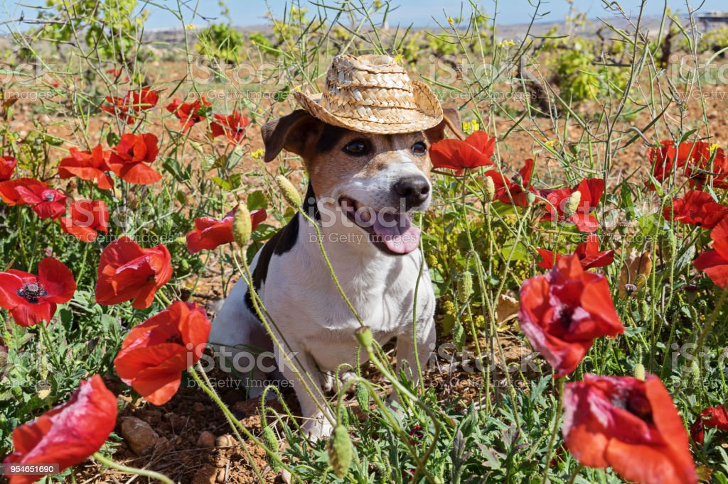 Cute dog sitting in poppy flowers with summer hat stock photo