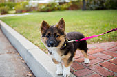 Dog, Corgi German Shepherd, Animal, Canine, Mixed-Breed Dog, Leash